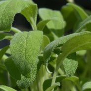 Salvia – Proprietati si contraindicatii